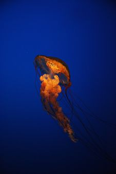 Free Jellyfish Stock Photography - 15039672