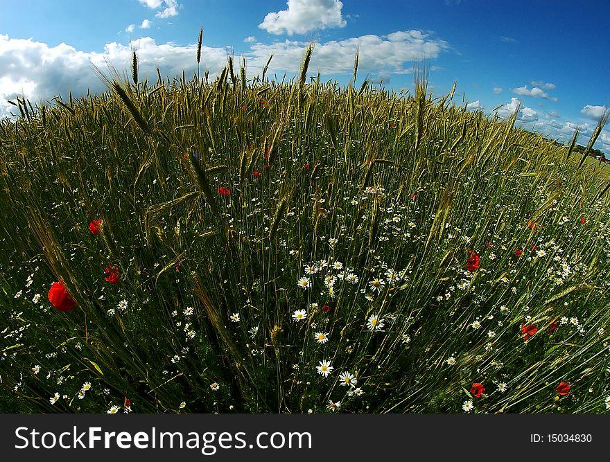 Round wheat & poppy field