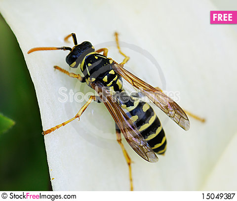 Free Bee Gathering Pollen Royalty Free Stock Photography - 15049387