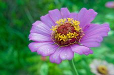 Free Purple Daisy With Morning Dewdrops Royalty Free Stock Image - 15040576
