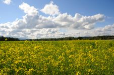 Field Of Canola Flowers On A Historic Farm Royalty Free Stock Image