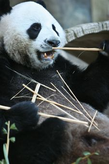 Free Panda Bear Eating Stock Photography - 15041142