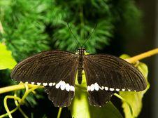 Papilio Polytes Stock Photo