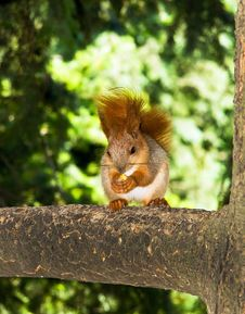 Free Squirrel Royalty Free Stock Photography - 15042017