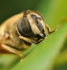 Free Bee Stock Photography - 15042162