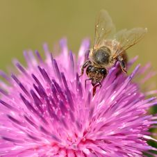 Free Bee On Flower Royalty Free Stock Photography - 15042167