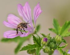 Free Bee On Flower Royalty Free Stock Photography - 15042237