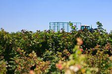 Free Raspberry Field Stock Photo - 15045430