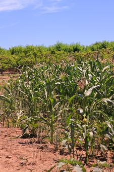 Free Corn In A Field Royalty Free Stock Image - 15045476