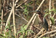 Free Adult Green Heron Royalty Free Stock Photos - 15046788
