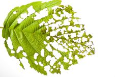 Free Eaten Leaf Royalty Free Stock Photography - 15046887