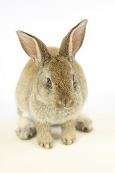Free Little Rabbit Royalty Free Stock Images - 15046979