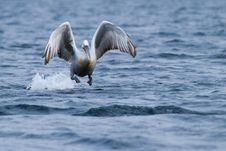 Free Dalmatian Pelican Royalty Free Stock Images - 15047139
