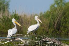 Free Dalmatian Pelicans Pair Stock Photos - 15047153