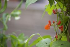 Free Flowering Beans Royalty Free Stock Photography - 15047197