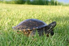 Free Turtle Going To Lay Eggs Stock Image - 15047471