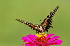 Free Butterfly Royalty Free Stock Photography - 15047497