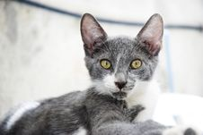 Free Beautiful Grey Cat Royalty Free Stock Image - 15048376