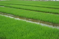 Free Rice Seedlings Stock Images - 15048784