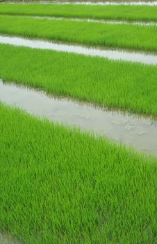 Free Rice Seedlings Stock Photos - 15048853