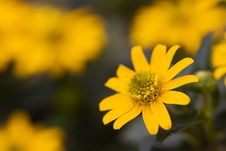 Free Bright Yellow Daisy On A Green Background Royalty Free Stock Image - 15048966