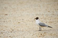 Blackhead Gull Stock Photography