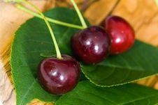 Free Fresh Sour Cherries , Close Up Stock Image - 15049121