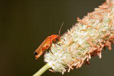 Free Beetle Cantharis Stock Photos - 15049343