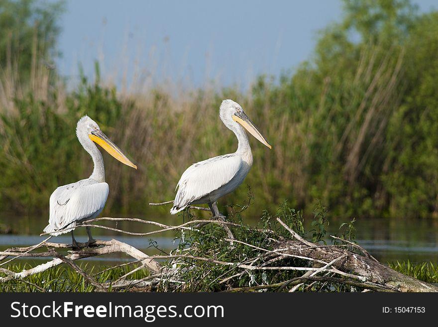 Dalmatian Pelicans Pair