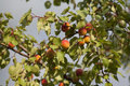 Free Ripe Apricot Royalty Free Stock Photography - 15051727