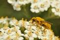 Free Bee On White Flower Royalty Free Stock Photo - 15056295