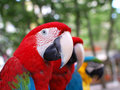 Free Macaw Parrots Stock Images - 15058204