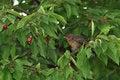 Free Blackbird Female Royalty Free Stock Photo - 15058225