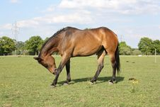 Free Bay Horse Scratching Royalty Free Stock Photos - 15050268