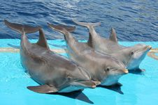 Three Dolphins Posing For The Public Stock Images
