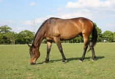 Free Bay Horse Grazing Royalty Free Stock Images - 15050479