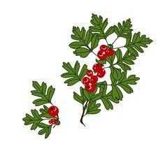 Free Berries Royalty Free Stock Photo - 15050975