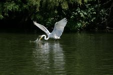 Free Egret Feeding Stock Images - 15051294
