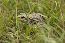 Free Frog Royalty Free Stock Photo - 15051465