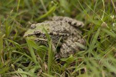 Free Frog Royalty Free Stock Image - 15051496