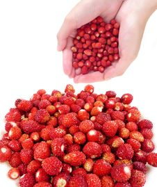 Free Hands With Wild  Strawberries Stock Images - 15051914