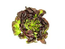 Free Lettuce Stock Images - 15052124
