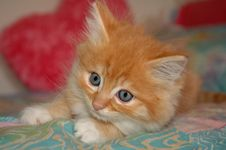 Free Kitten On Bed Stock Photo - 15052180