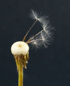 Free Dandelion Royalty Free Stock Photos - 15052548