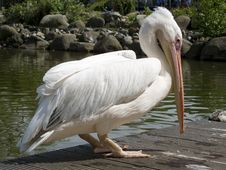 Free Pelican Bird Stock Images - 15052554