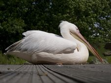 Free Pelican Bird Royalty Free Stock Photography - 15052597