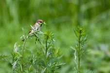 Free Sparrow Stock Image - 15052611