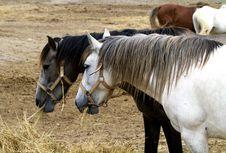 Free Horses Royalty Free Stock Photos - 15052858