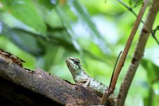 Free Lizards Of Thailand Royalty Free Stock Image - 15053336