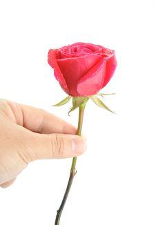 Free Rose Royalty Free Stock Photos - 15053658